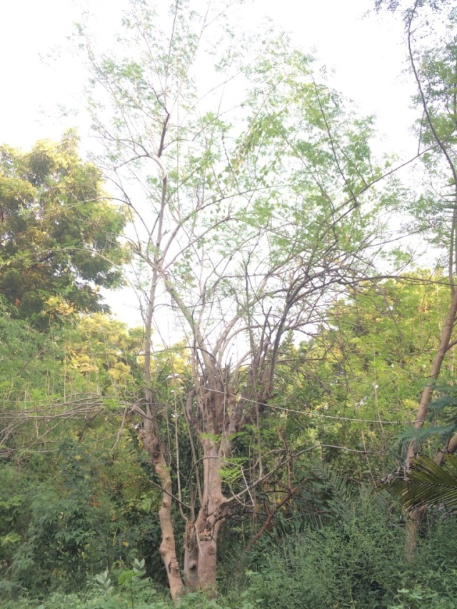 40 feet high Murungai (Moringa or Drumstick) tree. Vanya has