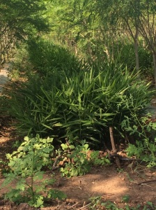 Aloe Vera, used extensively in Ayurveda and elsewhere, grows a healthy undergrowth at Vanya