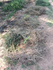Papaya saplings protected by mulch of Khas grass